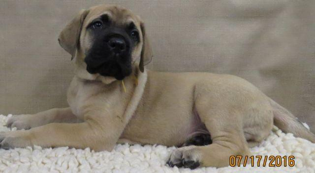 Purebred AKC English Mastiff Puppies
