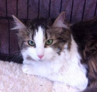 Tabby - Brown - Isabell W - Medium - Adult - Female - Cat