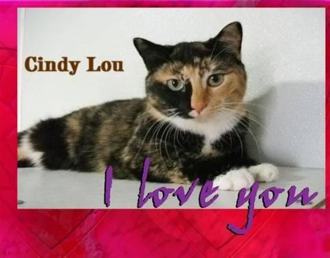 Domestic Short Hair - Mary Lou - Medium - Adult - Female - Cat