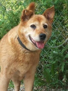 Akita - Foxy - Stray 12/8/12 - Medium - Adult - Female - Dog
