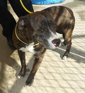 Pit Bull Terrier - Mandy***urgent*** - Medium - Adult - Female