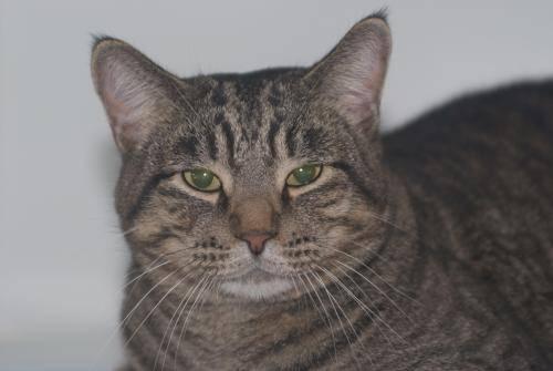Domestic Short Hair - Brown - Andy - Medium - Adult - Male - Cat