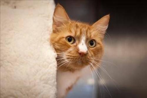 Domestic Long Hair - Fat Cat - Medium - Adult - Male - Cat