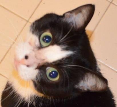 Tuxedo - Smudge - Lap Cat - Medium - Adult - Male - Cat
