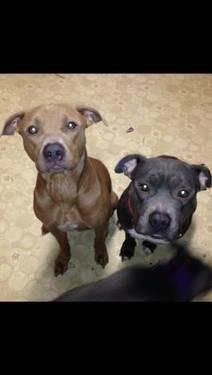 Pit Bull Terrier - Kilo & Bella - Medium - Adult - Male - Dog