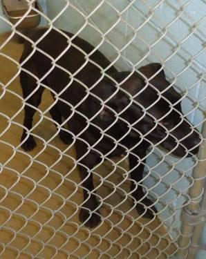 Labrador Retriever - Stevie***urgent*** - Medium - Adult - Male