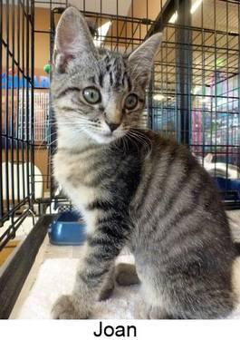 Domestic Short Hair - Joan 12054 - Medium - Baby - Female - Cat