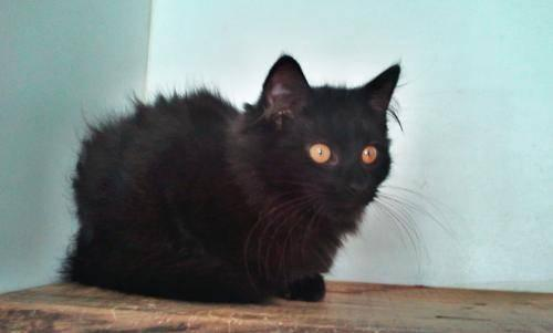 Domestic Long Hair - Black - Pat - Medium - Baby - Female - Cat
