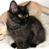 Domestic Long Hair - Gray - Roxy - Medium - Baby - Female - Cat