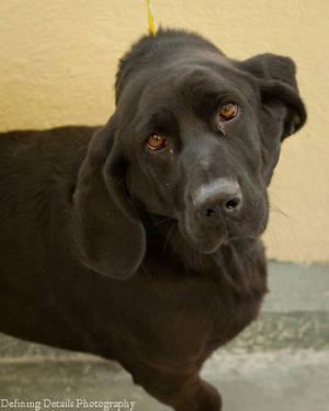 Black Labrador Retriever - Dogs/puppies - Medium - Baby - Female