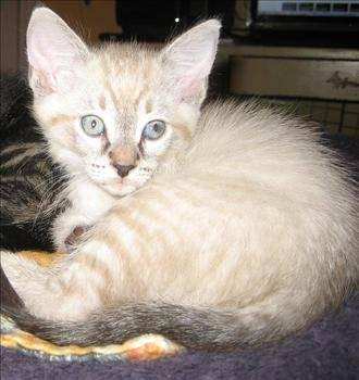 Siamese - Pix K1 Aka Tweedledee - Medium - Baby - Male - Cat