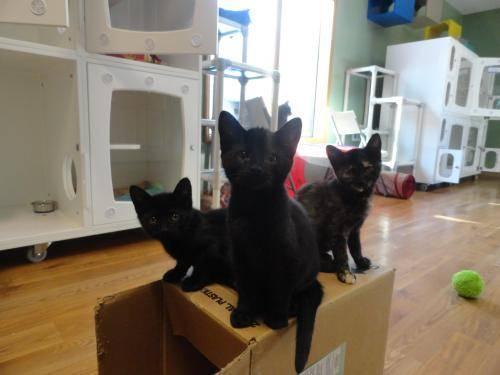 Domestic Short Hair - Black - Eddie - Medium - Baby - Male - Cat