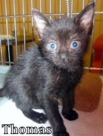 Domestic Short Hair - Black - Josh - Medium - Baby - Male - Cat