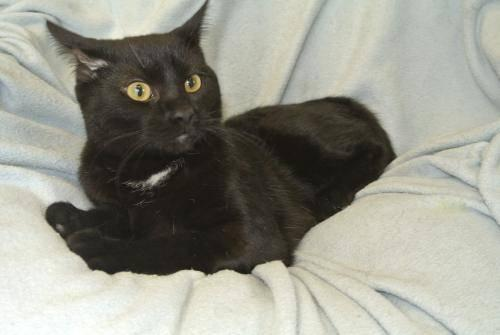 Domestic Short Hair - Black - Jack - Medium - Baby - Male - Cat