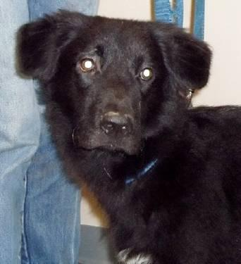 Flat - Coated Retriever - Stanley - Medium - Baby - Male - Dog