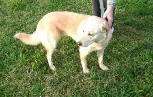 Yellow Labrador Retriever - Faith - Medium - Young - Female