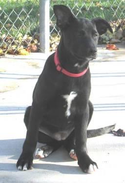 Labrador Retriever - Nugget, Nouget - Medium - Young - Female