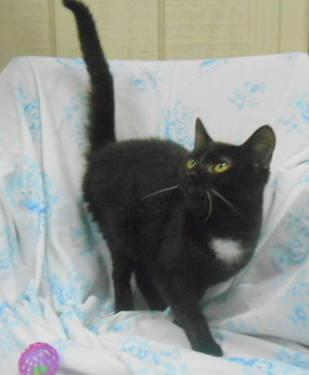 Domestic Short Hair - 810652-natalie - Medium - Young - Female