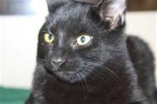 Domestic Short Hair - Black - Moe - Medium - Young - Male - Cat