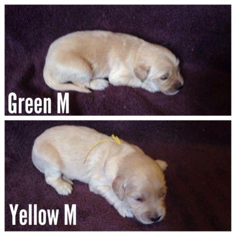 Goldendoodle Puppies Medium For Sale In Kalamazoo Michigan