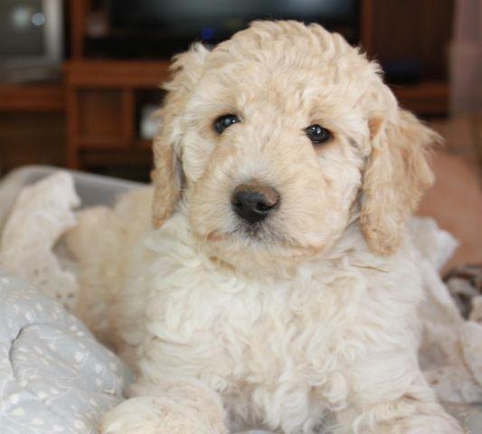 Labradoodle Puppies Medium For Sale In San Fernando