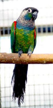 Green Cheek Conures&Pearly Conures Memorial Day Special ONLY