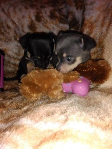 TINY teacup micro chihuahua for Sale in Connellsville, Pennsylvania