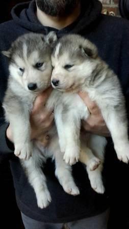 Miniature Pinscher Puppies (Min Pin)