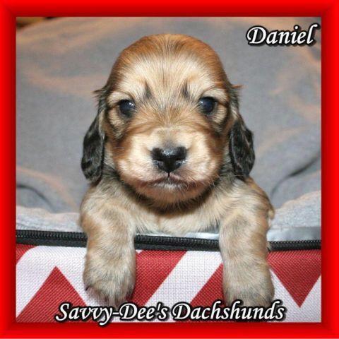 Dachshund puppies for sale, Akc Mini Dachshunds ,Shaded cream