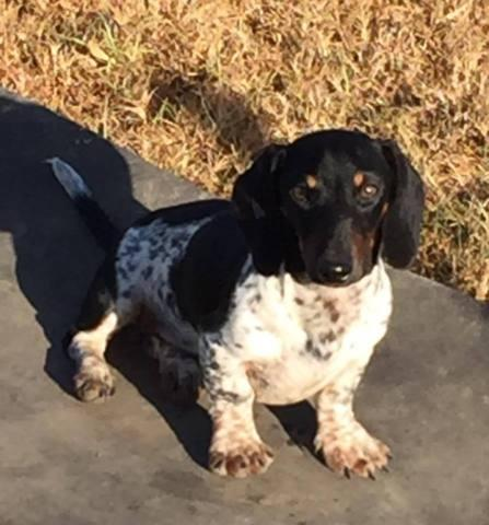 Black and tan miniature dachshund male