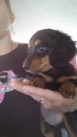 2 Male Long Hair Miniature Dachshund Puppies