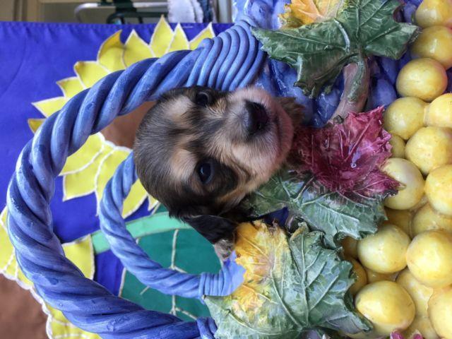 AKC long hair miniature dachshund puppies