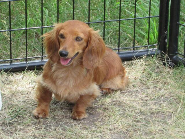 Longhaired Adult Miniature Dachshunds