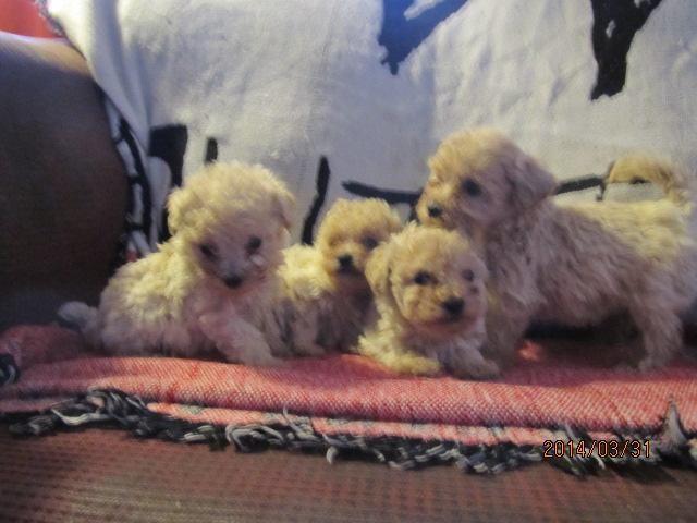 8 week old, miniature poodle