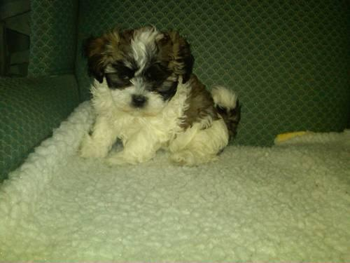 Ocherese Puppies-Pekingese,Maltese, Poodle Mix-Reserve for Easter