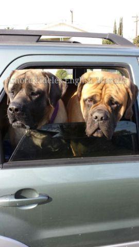 Newfypoo Puppies Newfoundlandstandard Poodle Mix Due In April