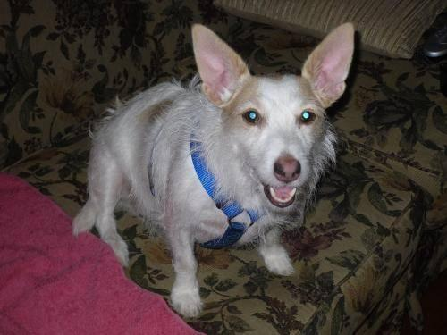 Jack Russell Terrier - Jack Russell Mix - Jack New - Small
