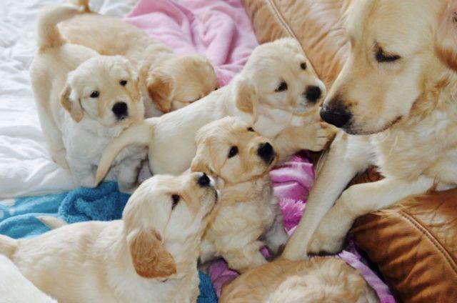 Goldador Puppies Lab Amp Golden Retriever Mix Best Of Both Breeds For Sale In Wheatland