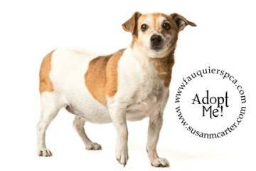 jack russel terrier mix for sale