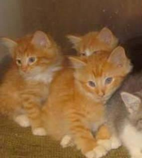 Maine Coon mix Kittens