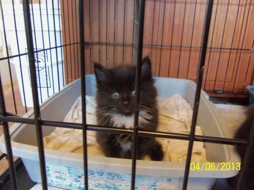 Maine Coon/Norwegian Forest/Ragdoll mix kittens for Sale in