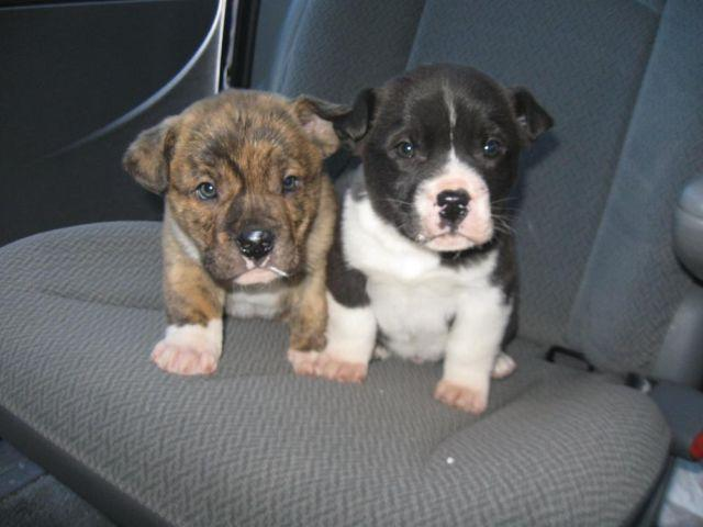 Adorable American Bulldog/Lab mix puppies brindles