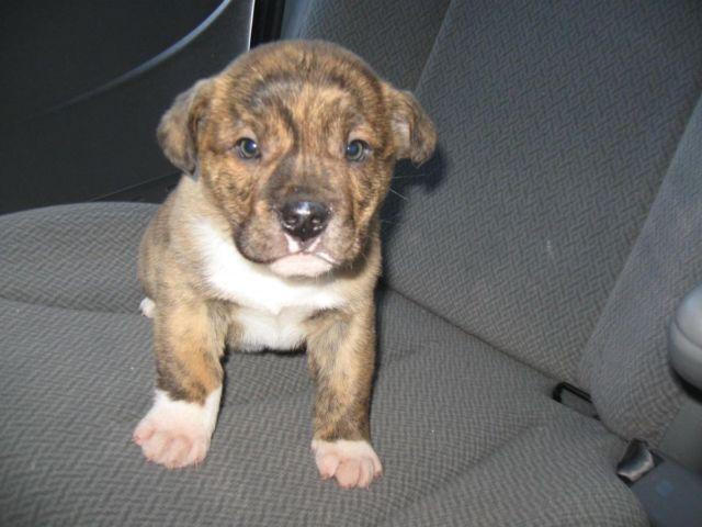 Adorable American Bulldog/Lab mix puppies brindles