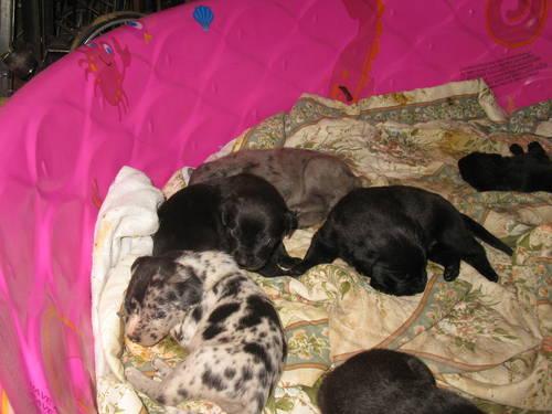 Great Dane/Rottweiler mix pups for Sale in Elverta ...