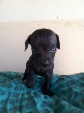 Adorable DoxiePoo (Poodle & Dachshund Mixed) Puppies For Sale