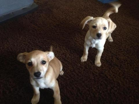 Adorable chihuahua mixes
