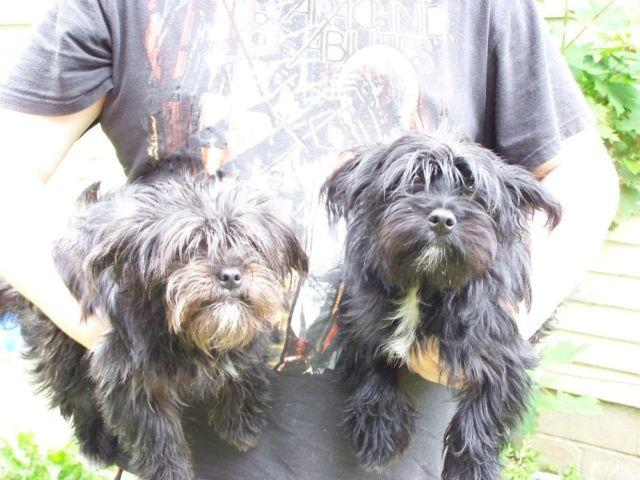 Yorkie-poo puppies 6 months old
