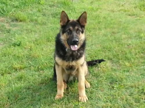 AKC GERMAN SHEPHERD MALE, 10 MONTHS OLD, OUSTANDING WORKING LINES...
