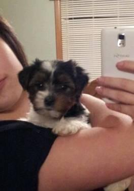 Adorable yorkie parti mix 3 months old :) valentine puppy