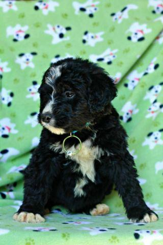 Adorable Bernedoodle Puppies available, Bernese Mountain Dog and
